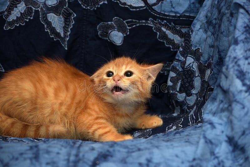 发出嘘声红色蓬松的小猫恼怒和 免版税库存图片
