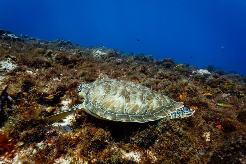 发单乌龟玳瑁imbricata吃珊瑚的鹰美好的壳  免版税库存图片