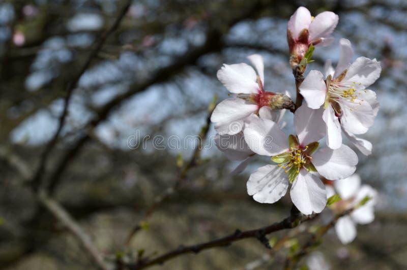 发抖在寒风阵风的杏仁桃红色和白色开花 库存图片