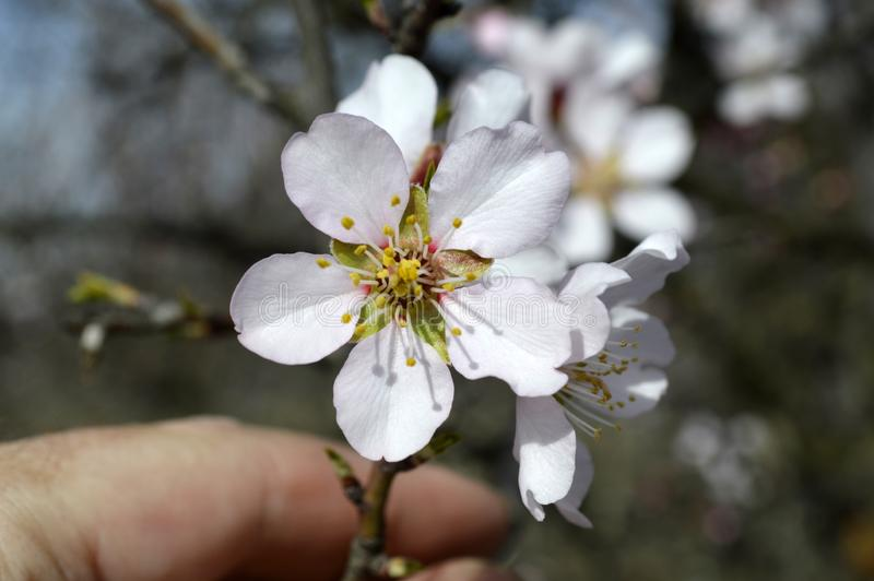 发抖在寒风阵风的杏仁桃红色和白色开花 免版税图库摄影