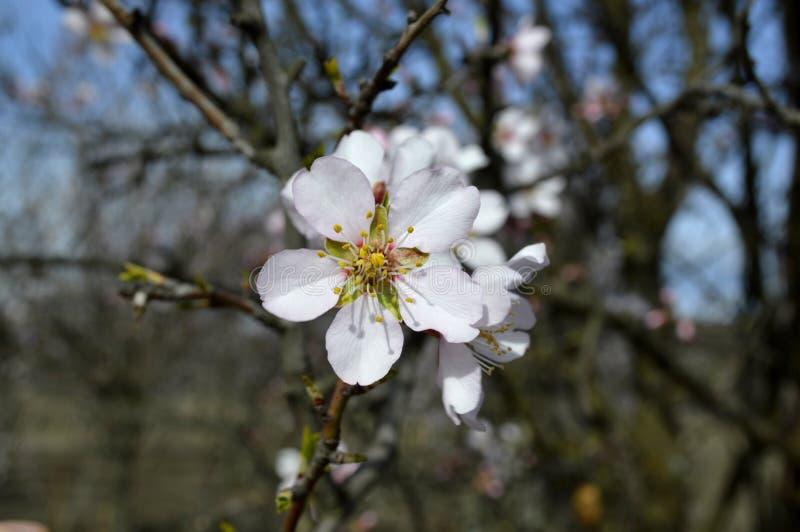 发抖在寒风阵风的杏仁桃红色和白色开花 库存照片