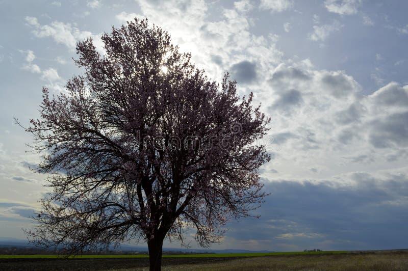 发抖在寒风阵风的杏仁桃红色和白色开花 免版税库存照片