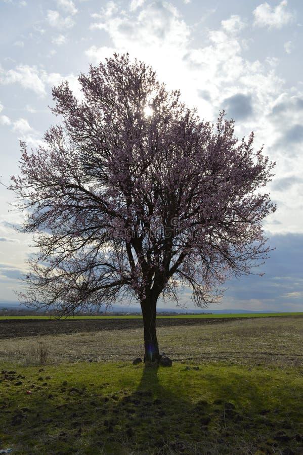 发抖在寒风阵风的杏仁桃红色和白色开花 图库摄影