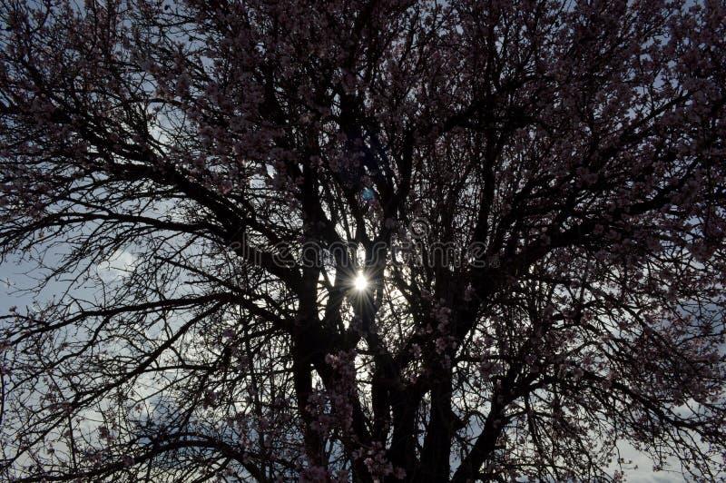 发抖在寒风阵风的杏仁桃红色和白色开花 免版税库存图片