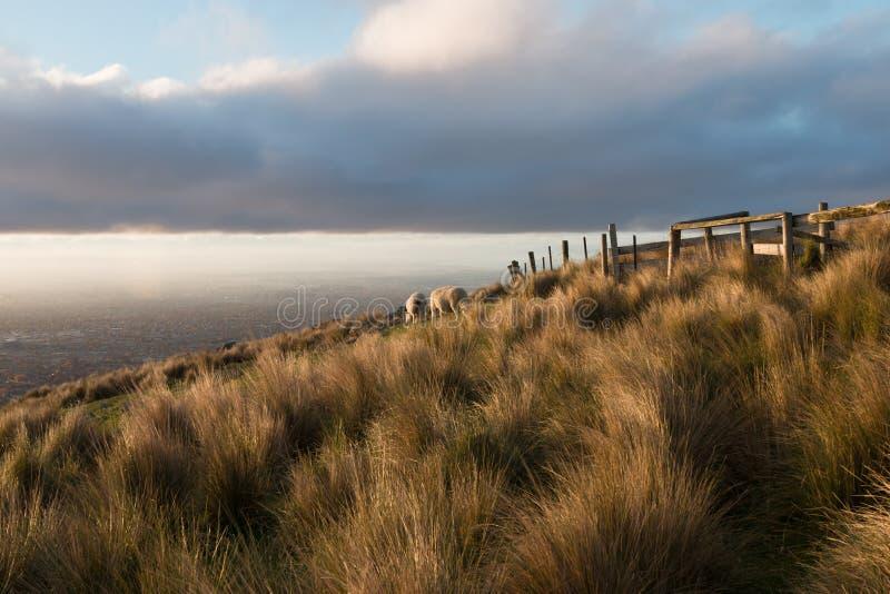 发昏小山的绵羊在金黄小时,新西兰 库存照片