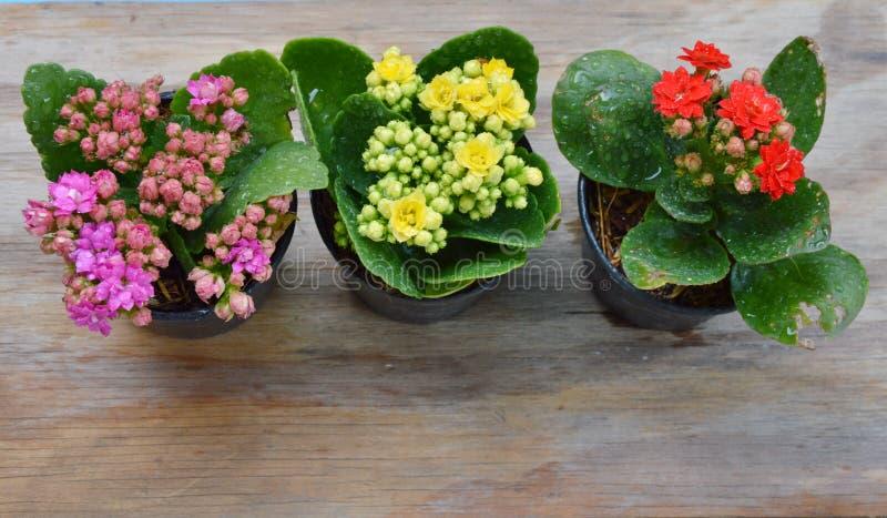 发火焰的浅田许多在花盆上色 免版税库存图片