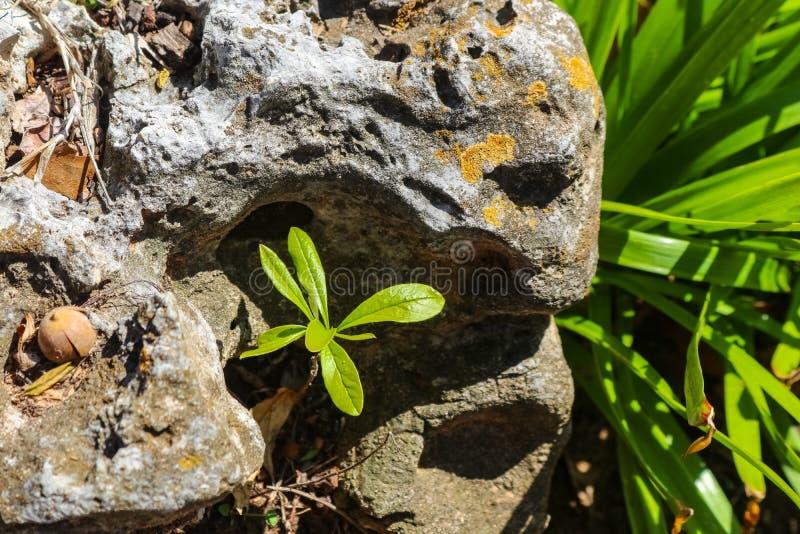 发现它在青苔被复的岩石的空隙增长的您自己的适当位置-太阳的小幼木舒展从  免版税库存图片