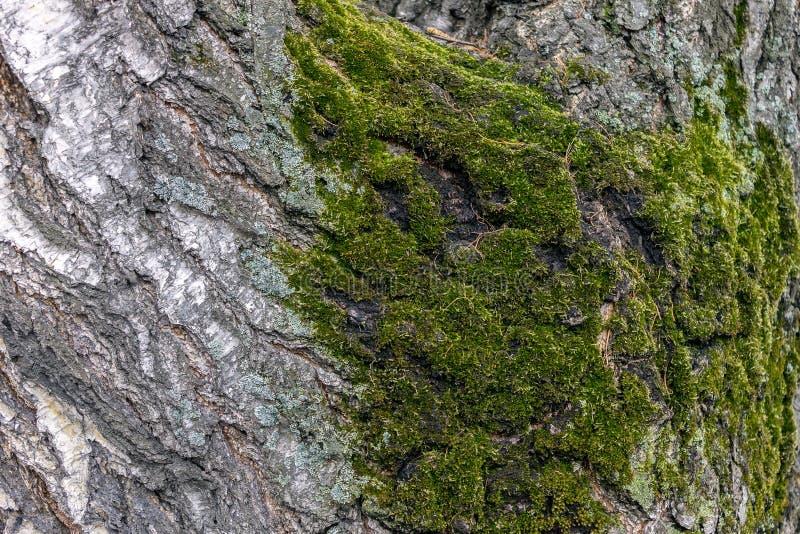 发生在大,老桦树的吠声的青苔在森林里 库存图片