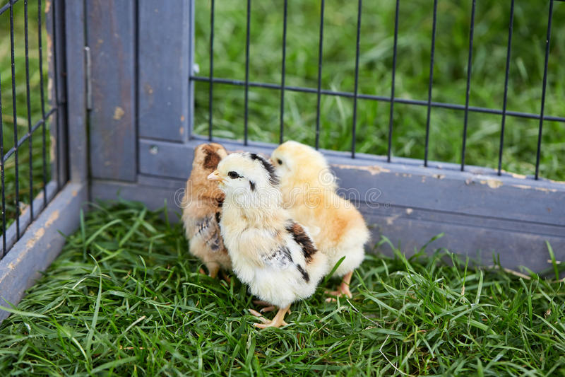 发生笼子的三只小鸡 库存照片