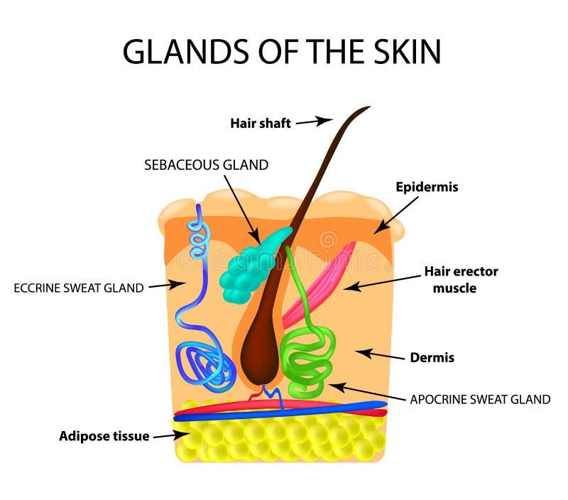 头发的结构 皮脂腺 汗腺 Infographics 在被隔绝的背景的传染媒介例证 向量例证
