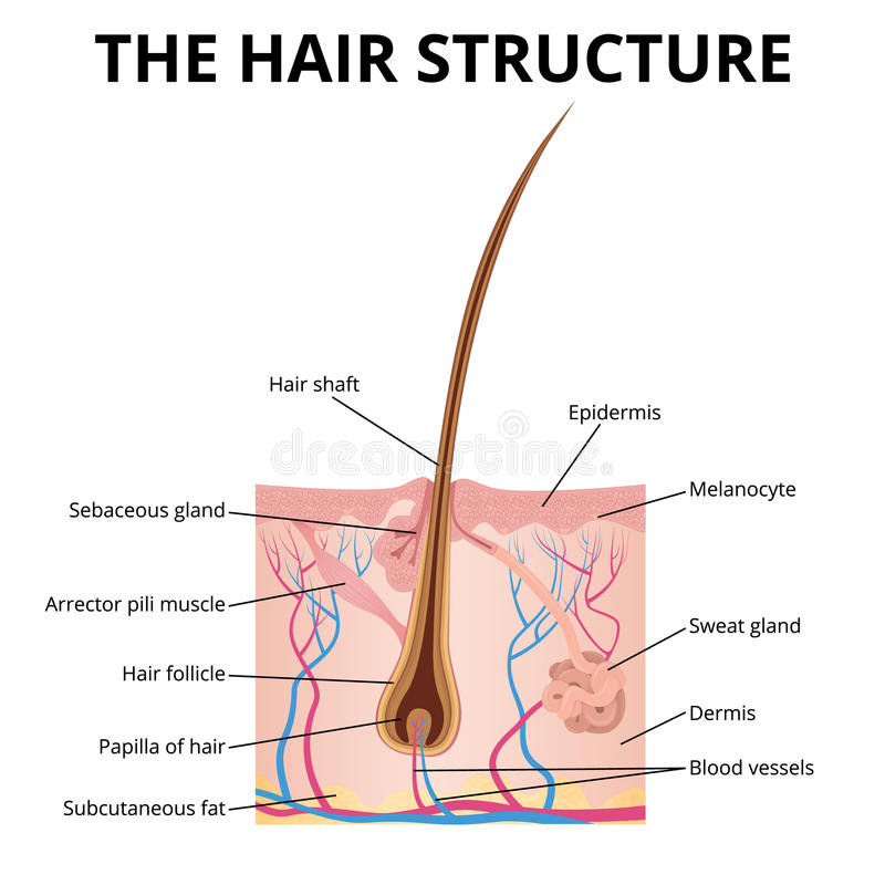 头发的结构 库存例证