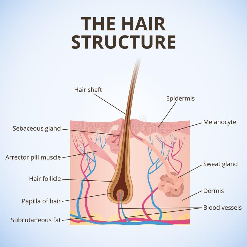 头发的结构 皇族释放例证