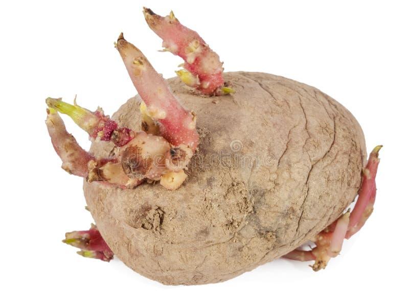 发芽与关闭的老土豆新芽 免版税库存照片