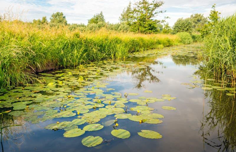 发芽和一条小河的黄色开花的荷花植物与a 库存图片