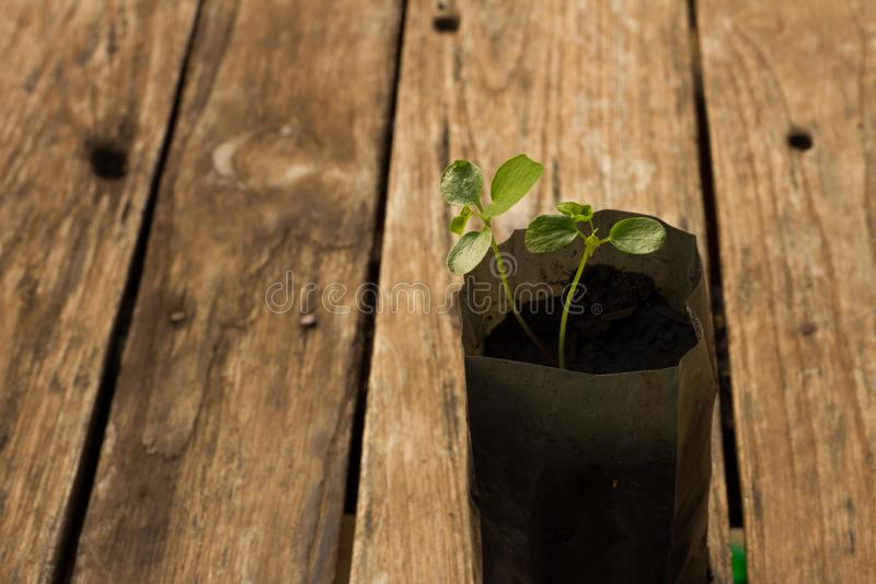 发芽在一张木桌上的番木瓜与早晨太阳 库存照片