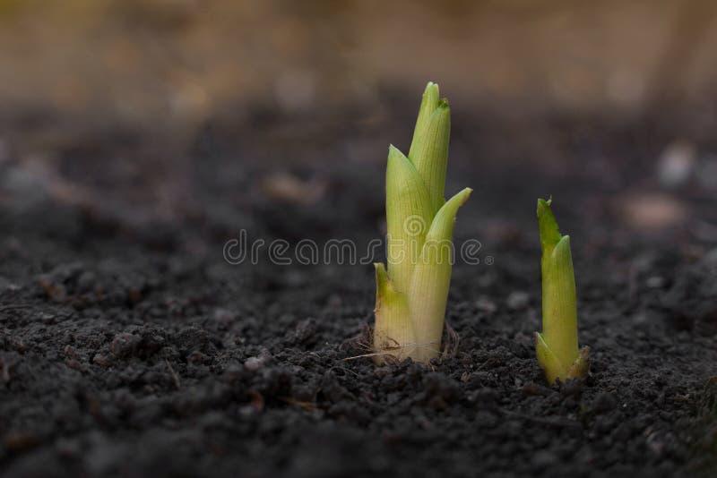 发芽在地面的两个年轻绿色新芽 图库摄影