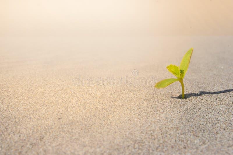 发芽在沙漠撒哈拉大沙漠的植物 幼木沙子背景 一个新芽 图库摄影