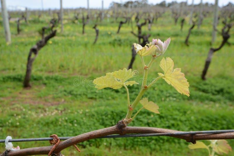 发芽在西澳州的葡萄酒藤 库存照片