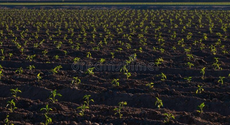 发芽水平的辣椒的植物,舱口盖,NM 库存例证