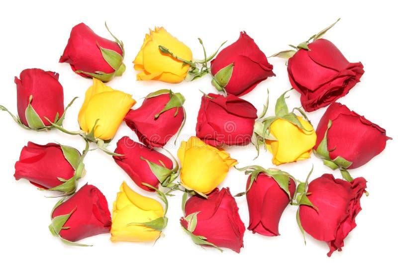 发芽玫瑰 库存照片