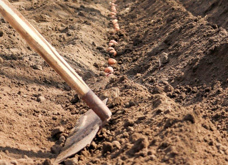 发芽的土豆在地面被播种 图库摄影