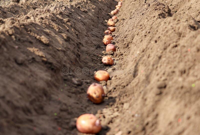 发芽的土豆在地面被播种 免版税库存图片