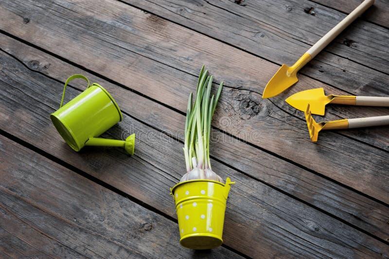 发芽的大蒜,菜,草本,事照料他们,喷壶,铁锹,犁耙 库存图片