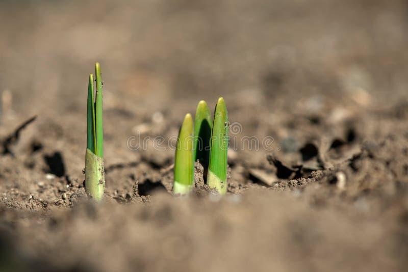 发芽的弹簧在早期的春天庭院里开花黄水仙 库存图片