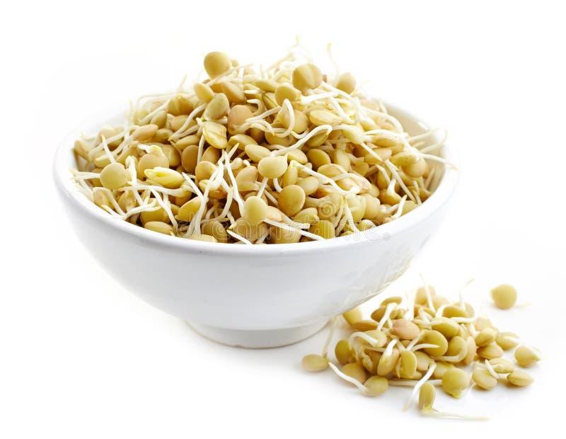 发芽的扁豆种子 库存照片
