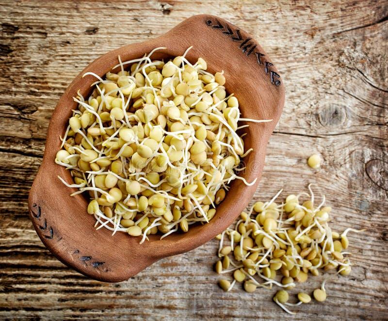 发芽的扁豆种子 免版税库存图片