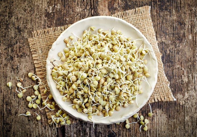 发芽的扁豆种子 免版税库存照片