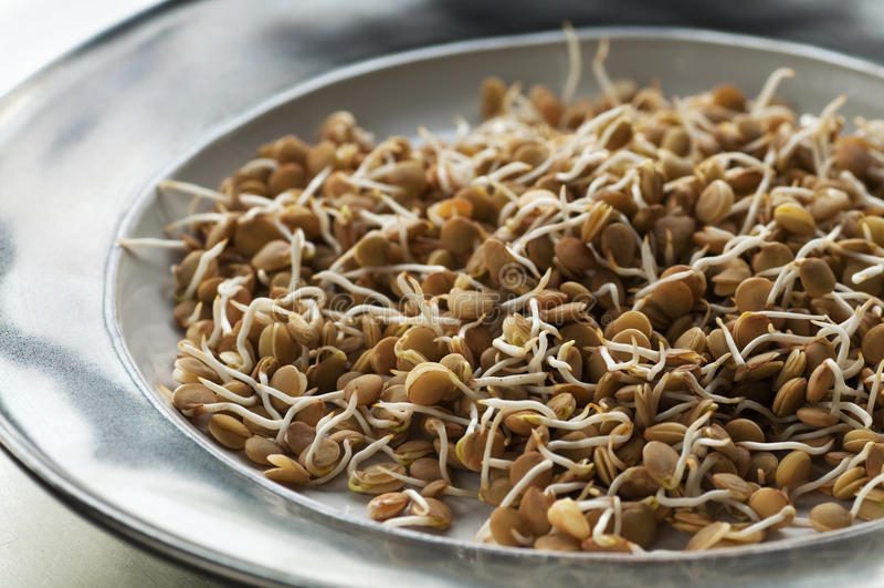 发芽的扁豆 免版税图库摄影