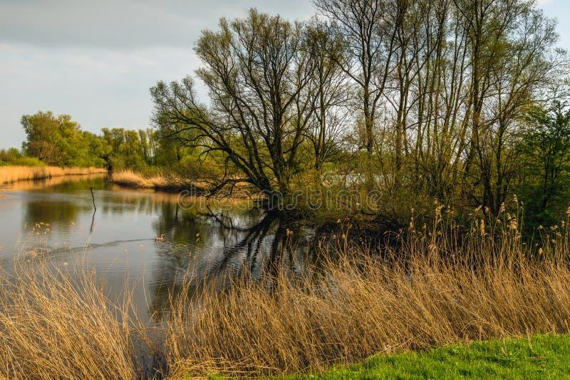 发芽的树在一个自然池塘的水表面反射了 免版税图库摄影