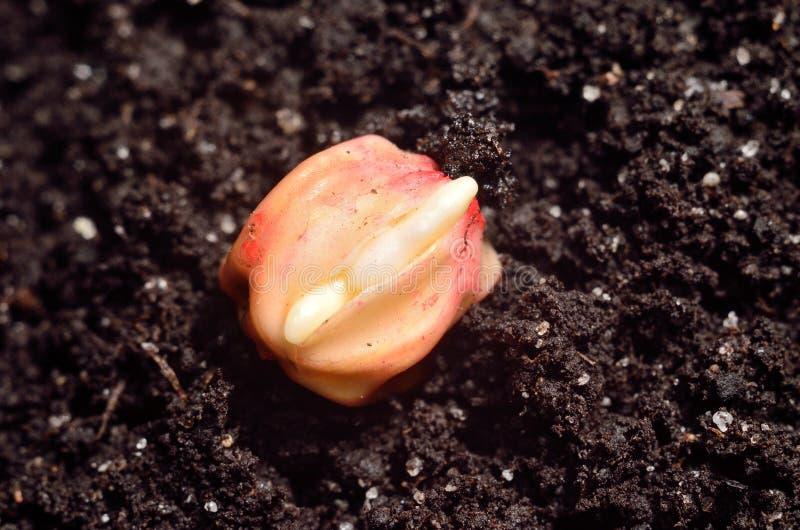发芽的玉米五谷 免版税库存图片