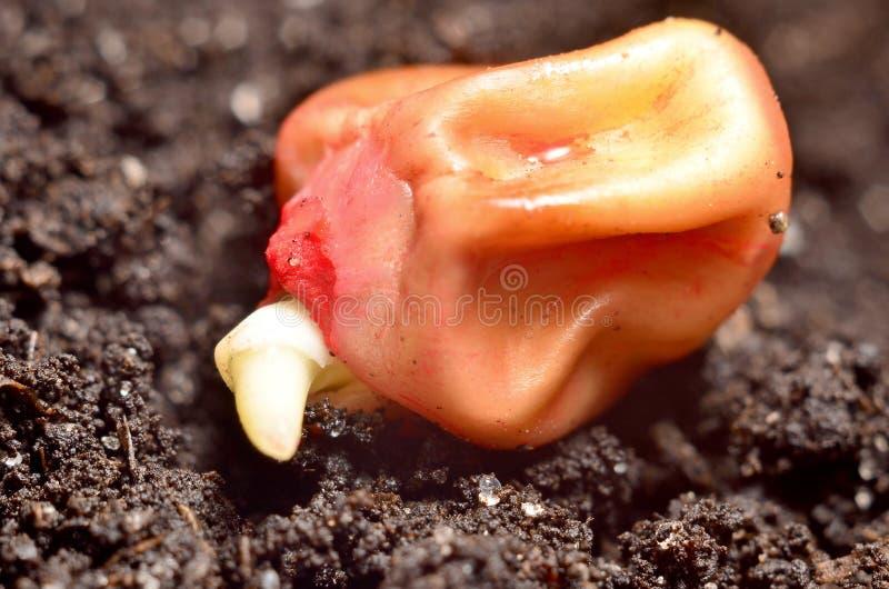发芽的玉米五谷 免版税库存照片