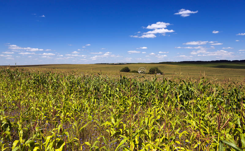 发芽的玉米 领域 免版税库存照片