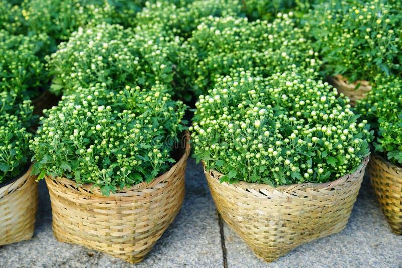 发芽的白色菊花在竹帆布篮开花 免版税库存照片