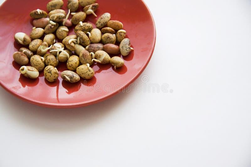 发芽的豆 免版税库存图片