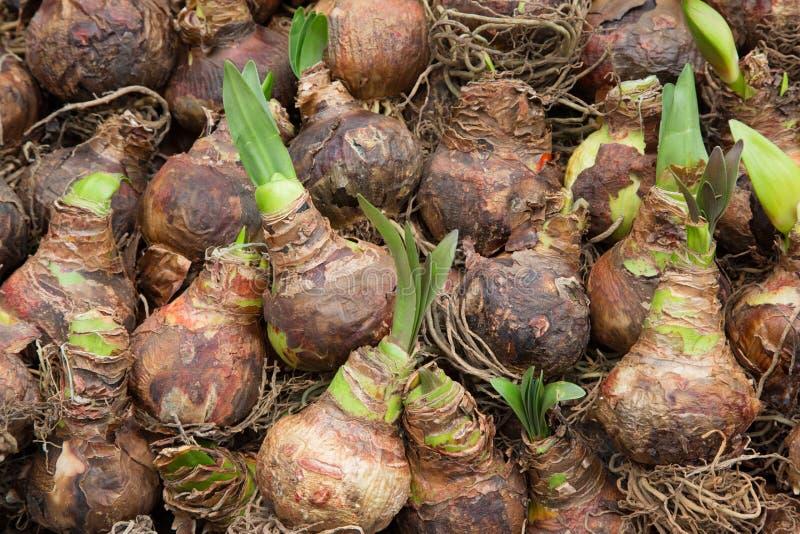 发芽的郁金香电灯泡种子在花市场上 免版税图库摄影