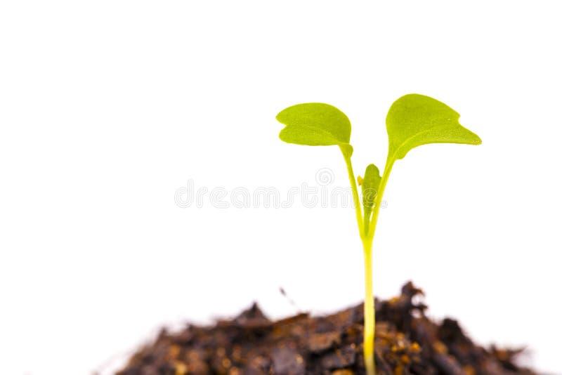 发芽的年轻人叶子 免版税库存图片
