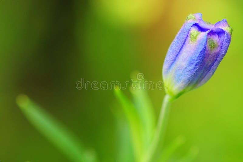 发芽的紫色花 免版税库存图片