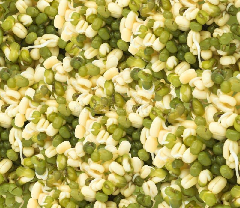 发芽的绿色绿豆背景 免版税库存照片