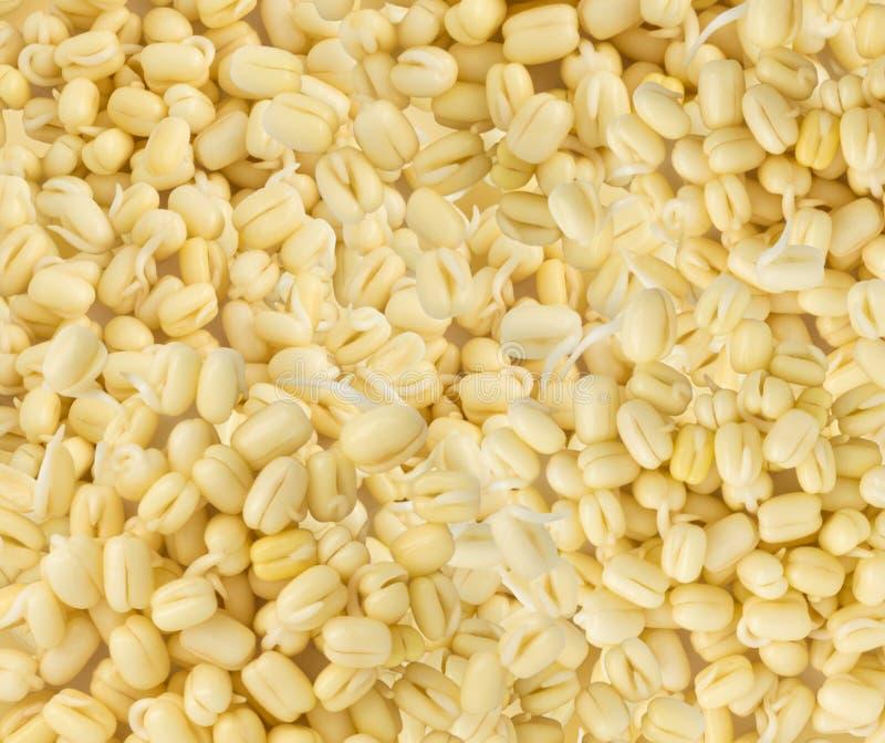 发芽的绿豆背景 免版税图库摄影