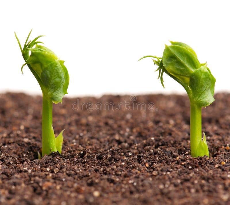 发芽的绿豆