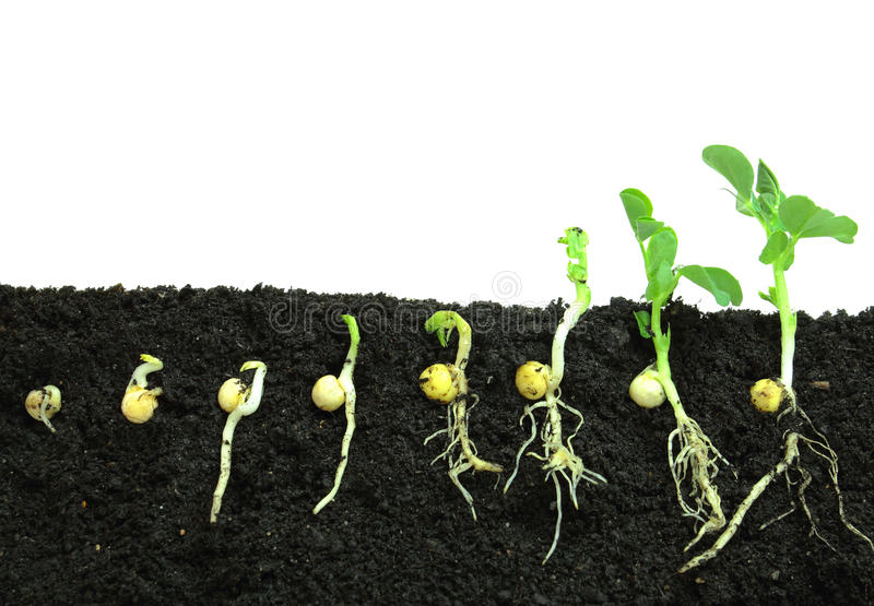 发芽豌豆种子 库存图片