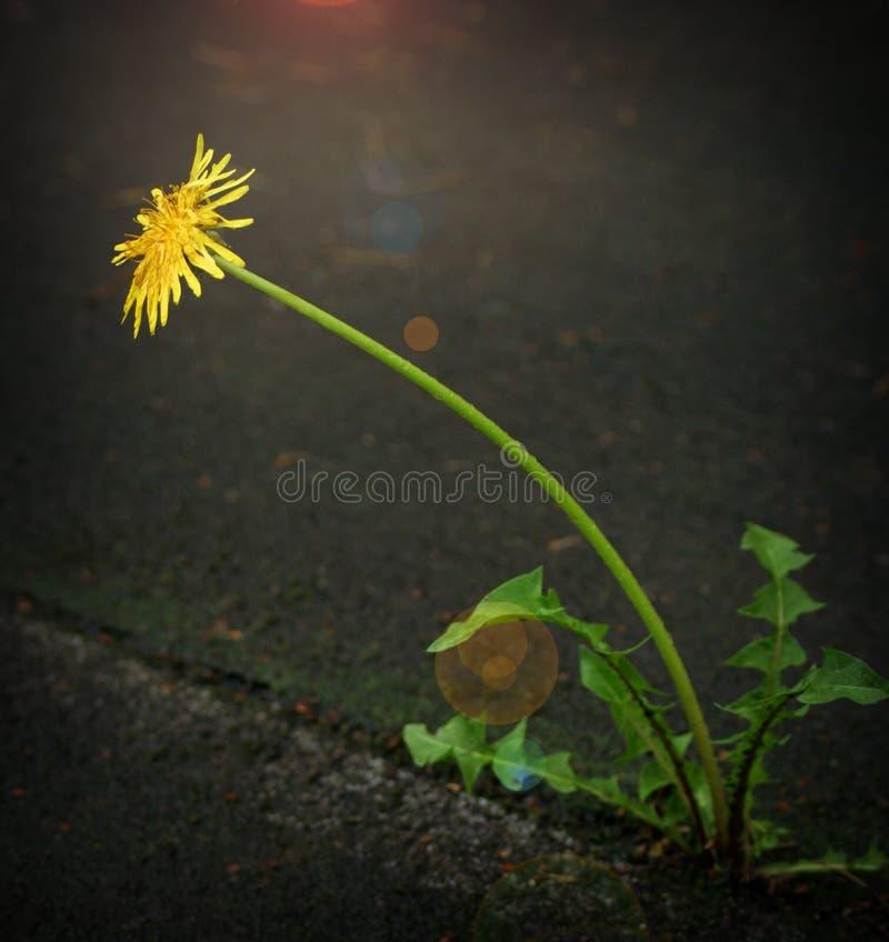 发芽通过沥青的花 概念,救球生活 免版税库存图片