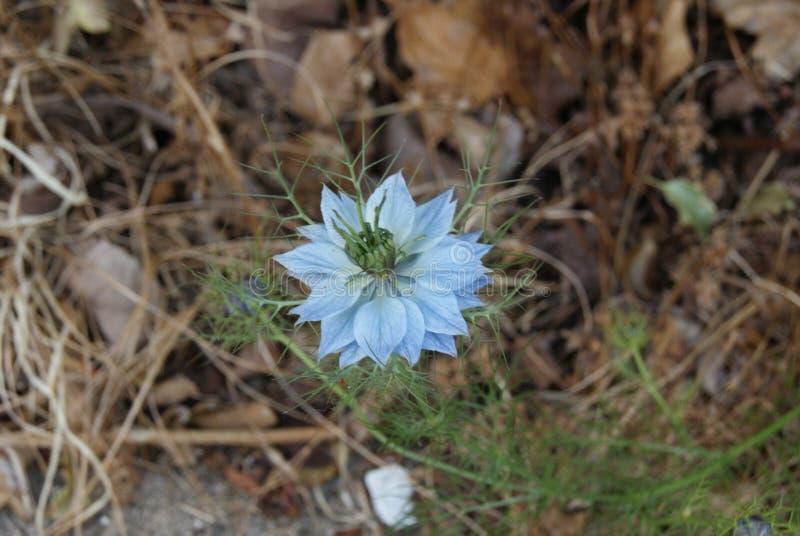 发芽通过路旁杂草的精美蓝色花 免版税库存图片