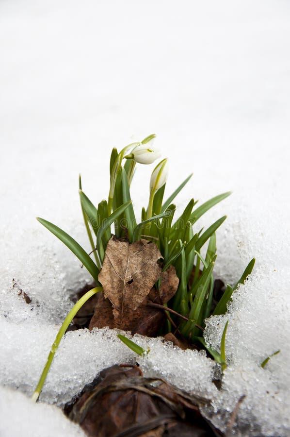 发芽通过雪的Snowbell Soldanella花 免版税库存图片