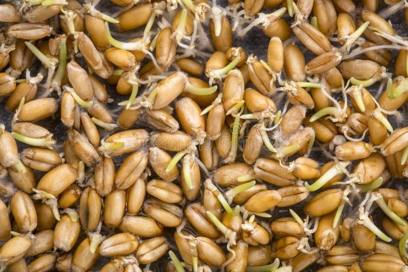 发芽麦子五谷背景 免版税库存图片