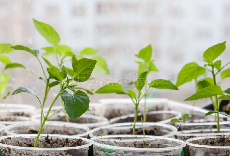 发芽从在被弄脏的都市背景的种子的小植物